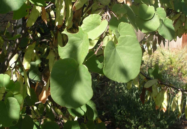 Leafcutter bees makes nests from circles like these cut out of redbud leaves, Cindy Weiner