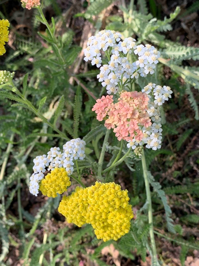 Varied colors of yarrow planted together, Laura Kling