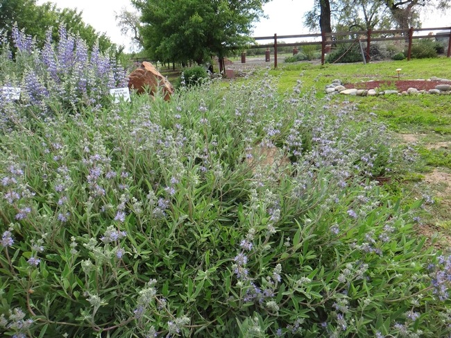 CA Native Plant Garden at Demo Garden, Salvia 'Bee's Bliss,' Brent McGhie