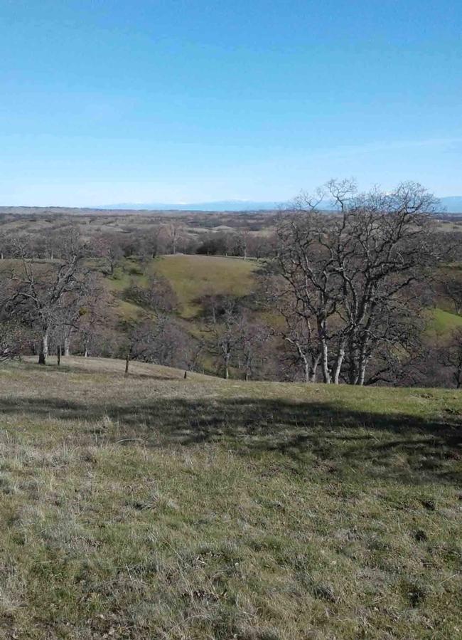 Blue oaks dot the foothills of the coast range,  Laura Lukes