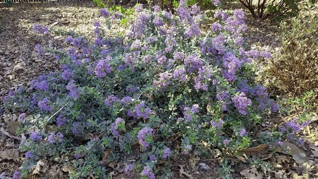 Valley Violet Ceanothus, J. Alosi