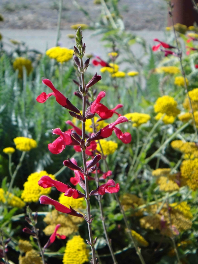 Salvia greggii 'John Wittlesey,' Brent McGhie