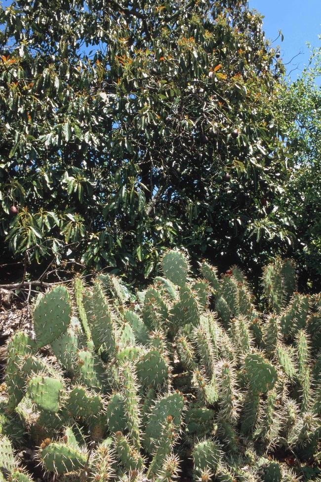 Prickly pear cacti, David Rosen, courtesy UC IPM Program