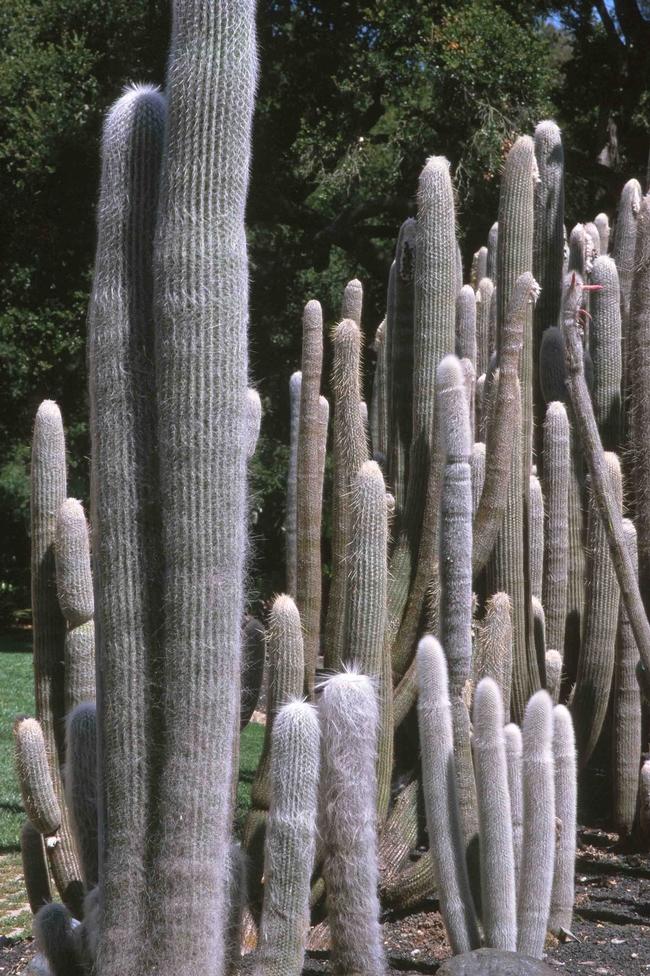 Old man cacti, Jack Kelly Clark, courtesy UC IPM Program