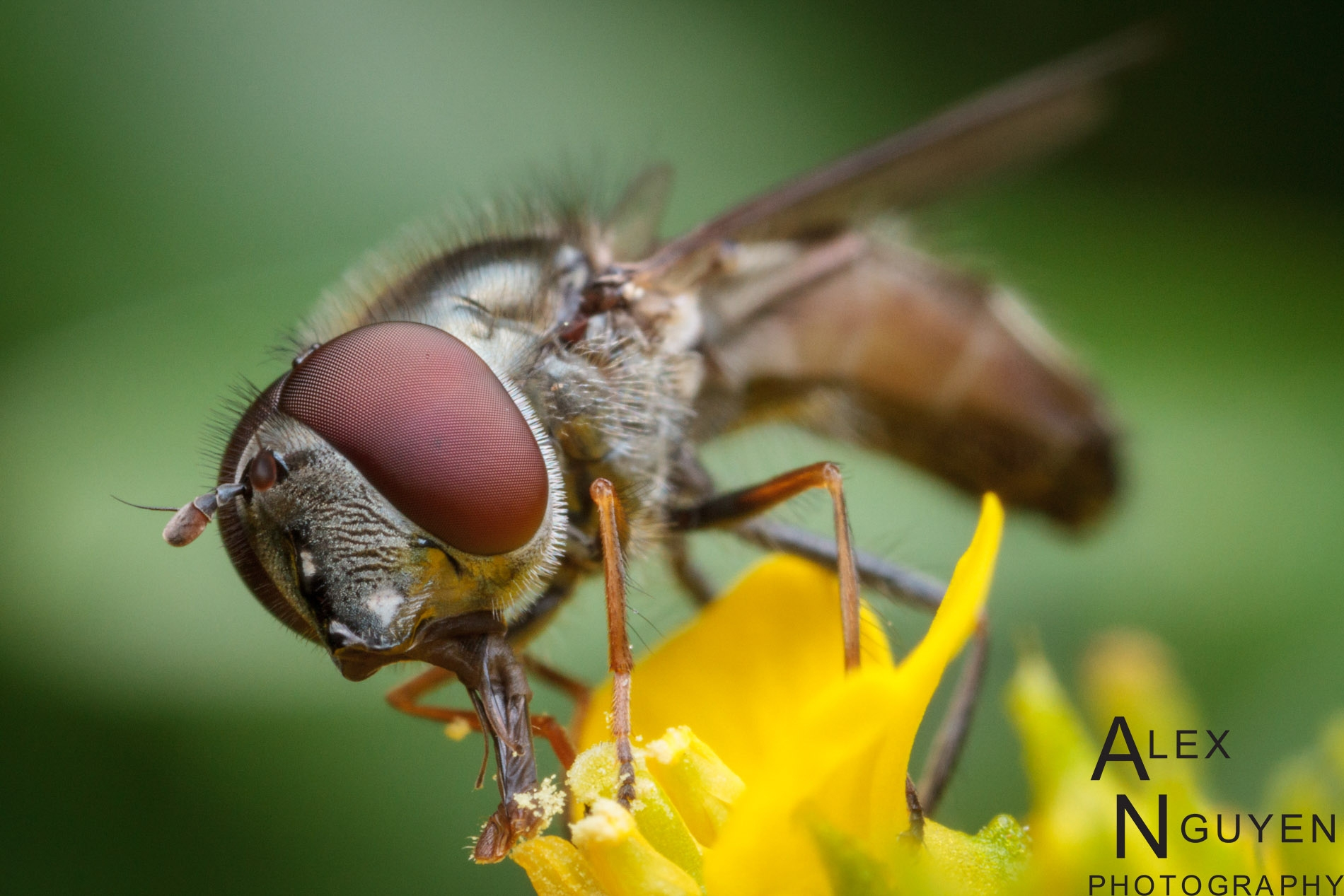 UC Davis Entomology Grad Alex Nguyen: Hover Fly Photo in