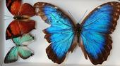 Butterflies from Belize are part of the collection at the Bohart Museum of Entomology. They are (far right) Blue Morpho, Morpho helenor montezuma; (top left), a leaf mimic, Fountainea eurypyle confusa; and blue hairstreak  Pseudolycaena damo, according to  entomologist Jeff Smith, who curates the Lepitoptera section.  (Photo  by Kathy Keatley Garvey)