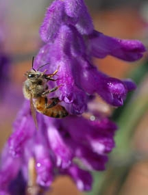 Honey bee on sage. (Photo by Kathy Keatley Garvey)