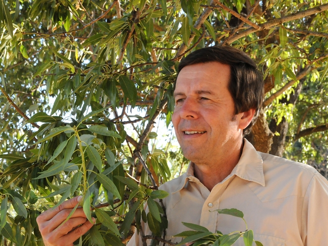 Frank Zalom checking out an almond tree. (Photo by Kathy Keatley Garvey)