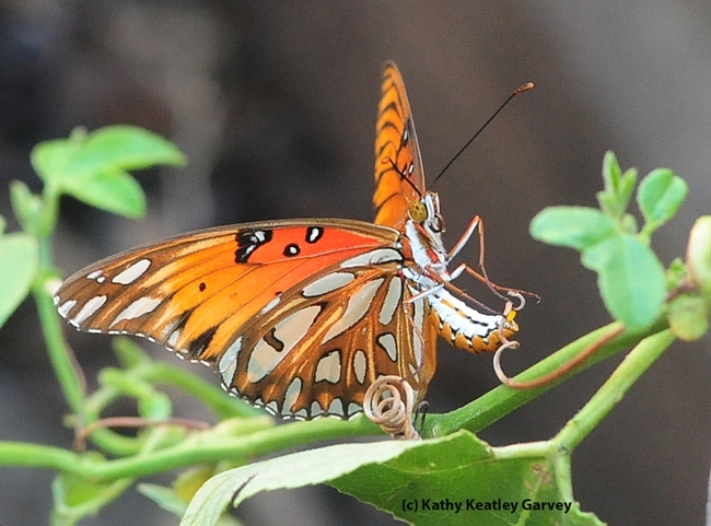 This photo, part of a series, won the ACE best photo series competition. This is a gulf fritillary butterfly laying an egg. (Photo by Kathy Keatley Garvey)