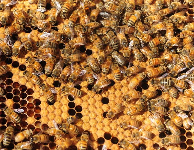 Honey bees at the Harry H. Laidlaw Jr. Honey Bee Research Facility.