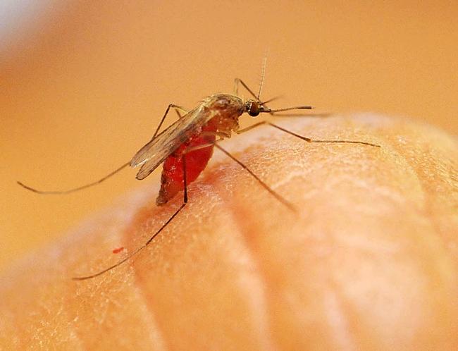 Culex quinquefasciatus, a vector of West Nile virus. (Photo by Kathy Keatley Garvey)