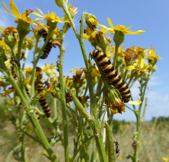 Larvae of the cinnabar moth (Tyria jacobaeae) feeding on native ragworts (Senecio sp.) may also switch their diet to non-native plant species.  Ecologists Ian Pearse and Florian Altermatt developed a novel method to make general predictions on the occurrence of such interactions. (Photo by Florian Altermatt)