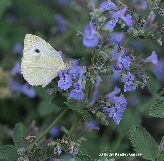 A cabbage white butterfly on catmint. (Photo by Kathy Keatley Garvey)