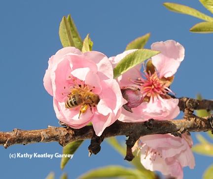 Honey bee foraging on nectar. (Photo by Kathy Keatley Garvey)