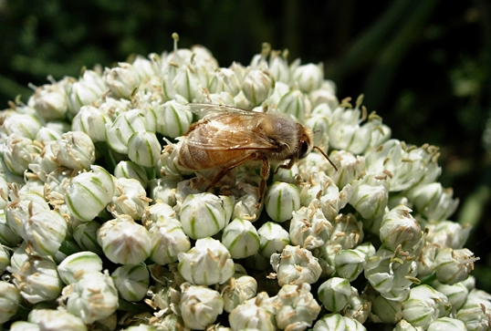 Honey bee pollinating an onion umbel. (Photo by Sandra Gillespie)