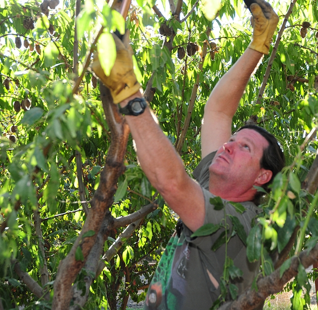 Andy Ross, pruning an almond tree.