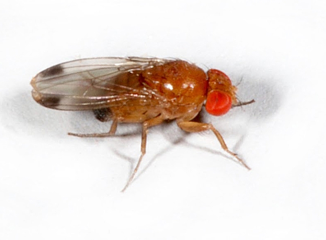 Spotted wing drosophila, male. (Photo by Martin Hauser of the California Department of Food and Agriculture)