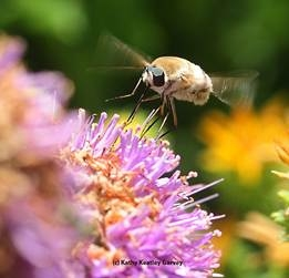 Can you guess this pollinator?