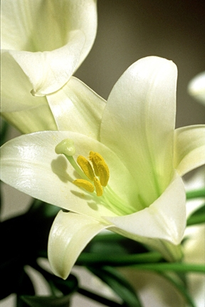 Easter Lilies Bring Beauty, Joy and Hope--But Also Problems, Says ...