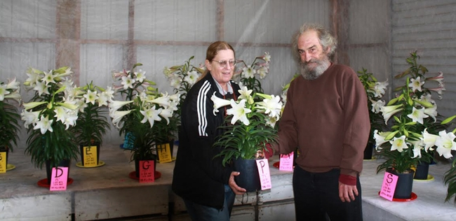 UC Davis nematologist  Becky Westerdahl and Lee Riddle, director of the Easter Lily Research Foundation, examine Easter lilies. (Photo by Zeke Harms