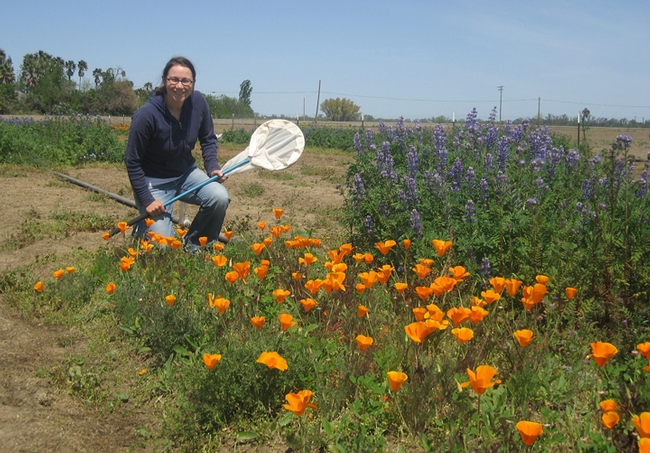 Katharina Ullmann sweeping for insects in a pollinator patch. (Photo by Neal Williams)