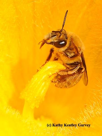 Squash bee, Peponapis pruinos (Photo by Kathy Keatley Garvey)