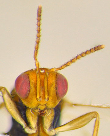 Face of the Bockler Wasp. (Photo by Andrew Richards)