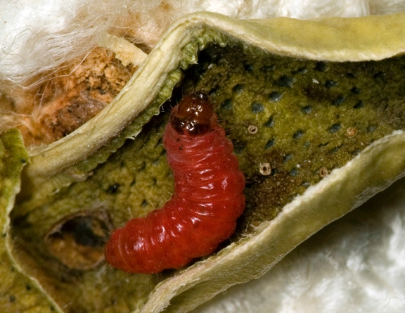 The pink bollworm, a global pest of cotton, has evolved resistance to genetically modified   cotton in India, but not in Arizona where farmers have planted refuges of conventional cotton to reduce   selection for resistance. (Photo by Alex Yelich, University of Arizona)