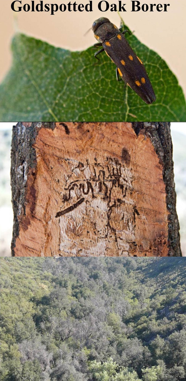 The goldspotted oak borer