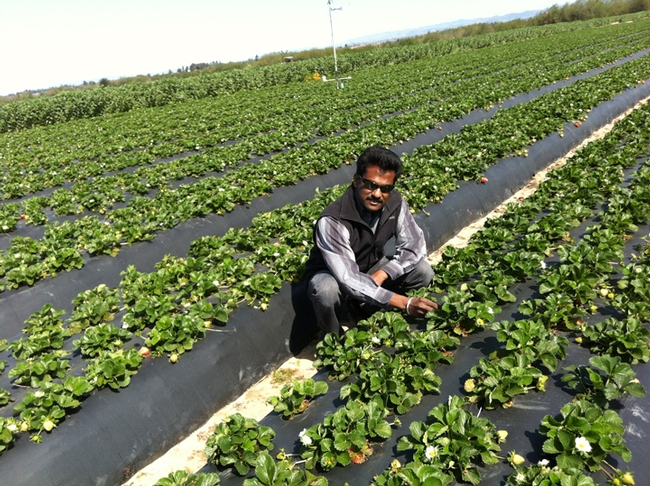 Surendra Dara working in a strawberry field.