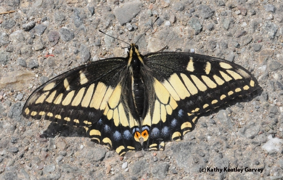 Female anise swallowtail, Papilio zelicaon. (Photo by Kathy Keatley Garvey