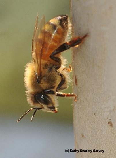 Worker bee. (Photo by Kathy Keatley Garvey)