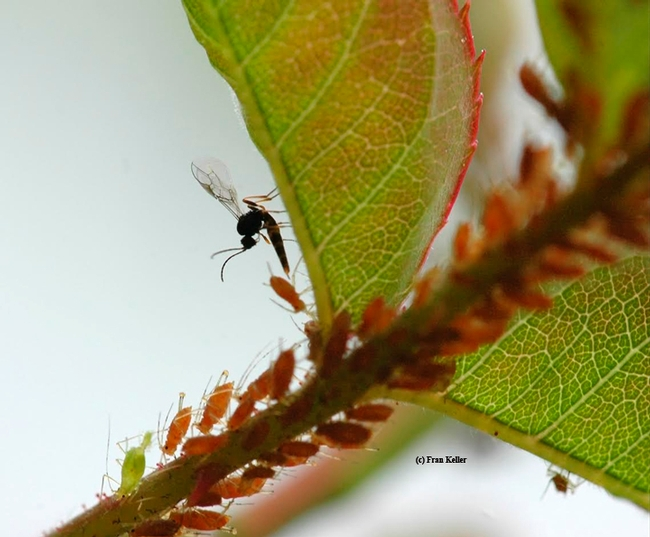 A wasp (family Aphidiinae) parasitizing aphids. See http://en.wikipedia.org/wiki/Aphidiinae. (Photo by Fran Keller, who received her doctorate in entomology from UC Davis this year)