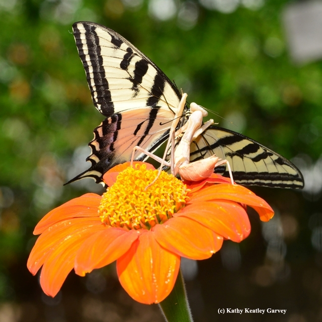 This photo of a praying mantis snagging a Western tiger swallowtail won a bronze award in the ACE competition. (Photo by Kathy Keatley Garvey)