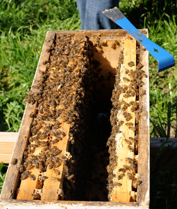 Hive in the Laidlaw apiary. (Photo by Kathy Keatley Garvey)