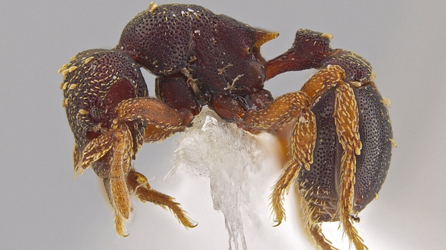 A side view of the new ant species Eurhopalothrix zipacna that Jack Longino discovered in Central America. (Photo by Jack Longino)