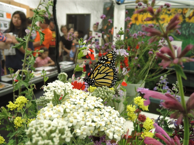 A monarch butterfly nectaring a flower as visitors to the Pollinator Pavilion, UC Davis Picnic Day, watch. Rei Scampavia organized the Pollinator Pavilion. (Photo by Kathy Keatley Garvey)