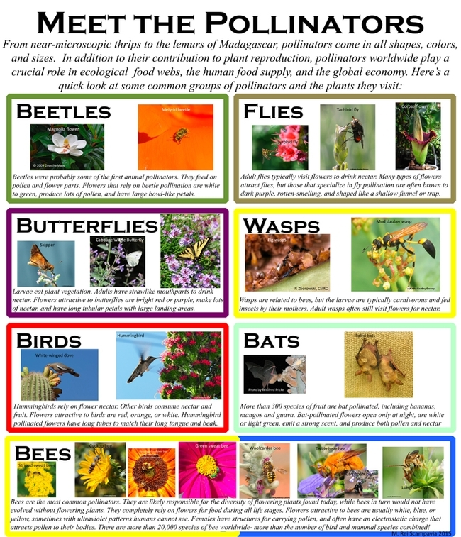 This is one of the informational posters that Rei Scampavia created for the Pollinator Pavilion during the UC Davis Picnic Day.