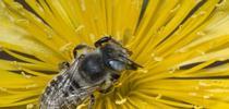 Megachile sp. on Mentzelia multflora var. longiloba (Photo by Leslie Saul-Gershenz) for Entomology & Nematology News Blog