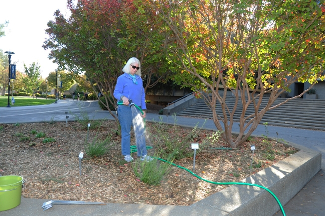 Christine Casey, staff director of the department's Häagen-Dazs Honey Bee Haven waters the newly planted Briggs Hall Pollinator Garden. (Photo by Kathy Keatley Garvey)