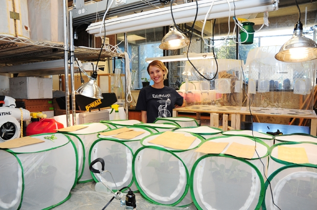 Stacey Rice does research in the Larry Godfrey lab on Bagrada bugs, invasive stink bugs from Africa. (Photo by Kathy Keatley Garvey)
