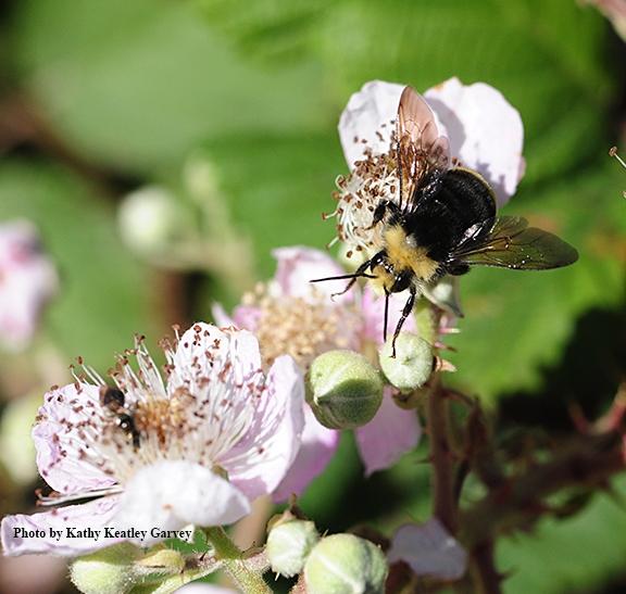 Yellow-faced bumble bee, Bombus vosnesenskii, foraging on wild blackberry. (Photo by Kathy Keatley Garvey)