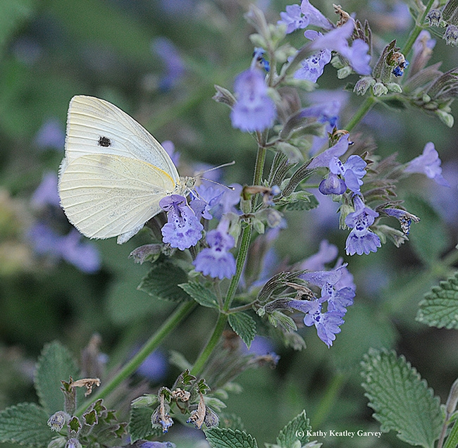 A cabbage white butterfly, Pieris rapae, nectaring on catmint. (Photo by Kathy Keatley Garvey)