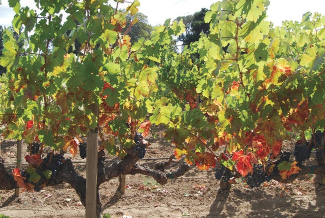Grapevine red blotch symptoms on Cabernet franc in mid-September. (Photo by M. Sudarshana)