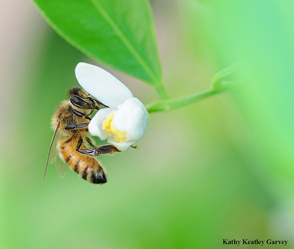 Honey bee nectaring on lemon blossom. (Photo by Kathy Keatley Garvey)