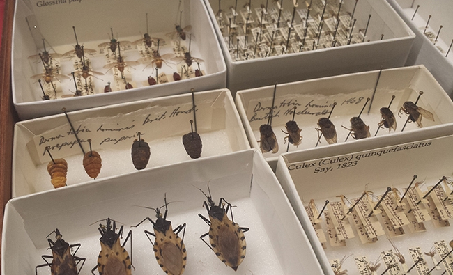 The medical entomology display at Briggs Hall will include tsetse, human bot flies, kissing bugs,mosquitoes and more. (Photo by Stephanie Kurniawan)