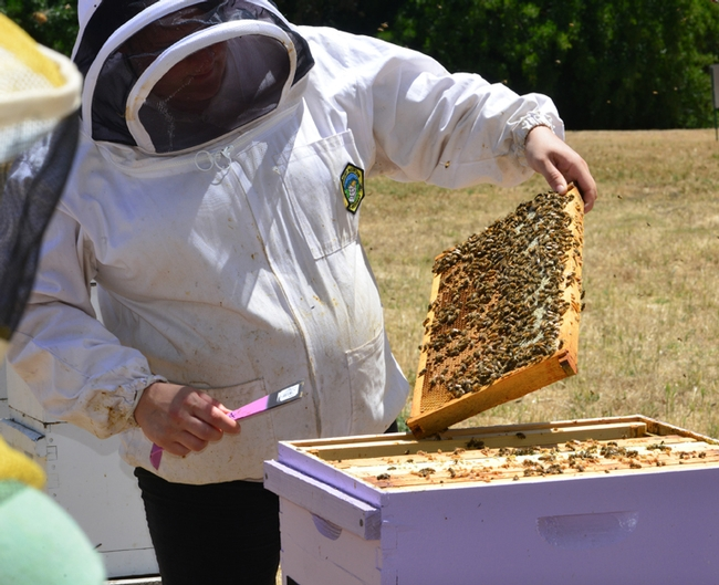 Extension apiculturist Elina Niño examines a frame at the Harry H. Laidlaw Jr. Honey Bee Research Facility, UC Davis. (Photo by Kathy Keatley Garvey)