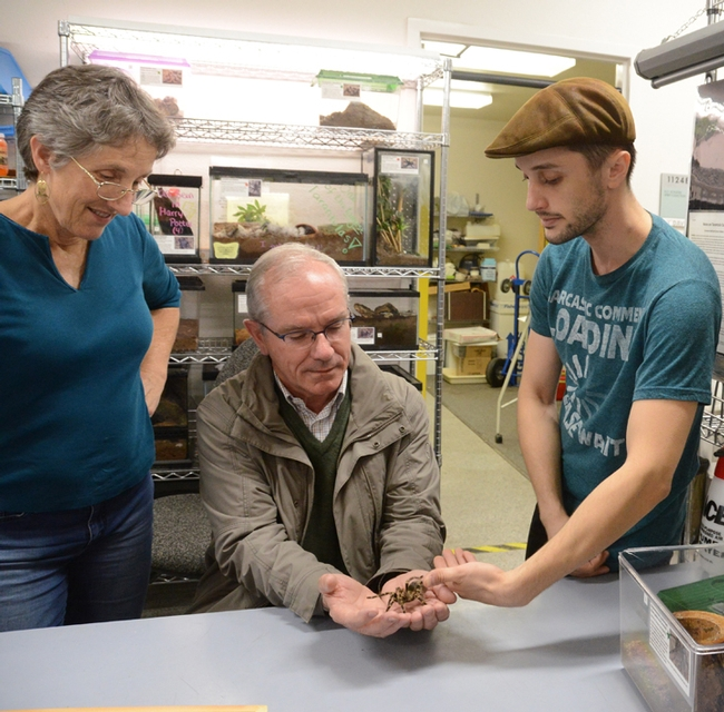 Entomology student Wade Spencer (far right) and Lynn Kimsey, director of the Bohart Museum, show Yves Le Conte a Chaco golden knee tarantula, Grammostola pulchripes. (Photo by Kathy Keatley Garvey)