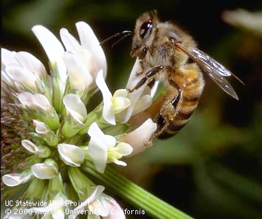 Honey bee on clover. According to a UC Berkeley news report,about one-third of the value of California agriculture comes from pollinator-dependent crops, representing a net value of $11.7 billion per year. (UC IPM Photo)
