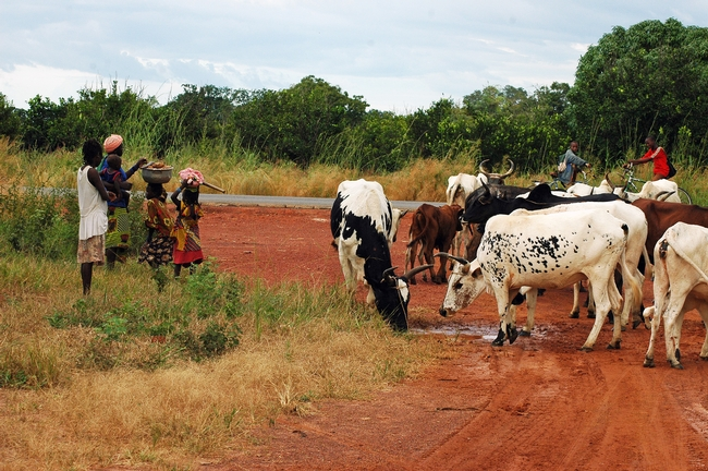 Villagers and cattle along the road near Pimperena in southern Mali. A UC Davis study reports that mosquito preference for human-versus-animal biting has a genetic component. (Photo by Yoosook Lee, UC Davis)